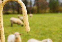 Pastor e ovelhas